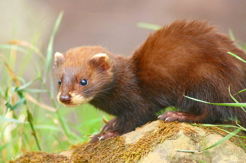 La fauna de les Gavarres és modesta i fugissera. Aquí en tenim un bon exemple, el turó, de colors marronosos i morro blanc. El 2015 el Consorci va premiar una recerca titulada