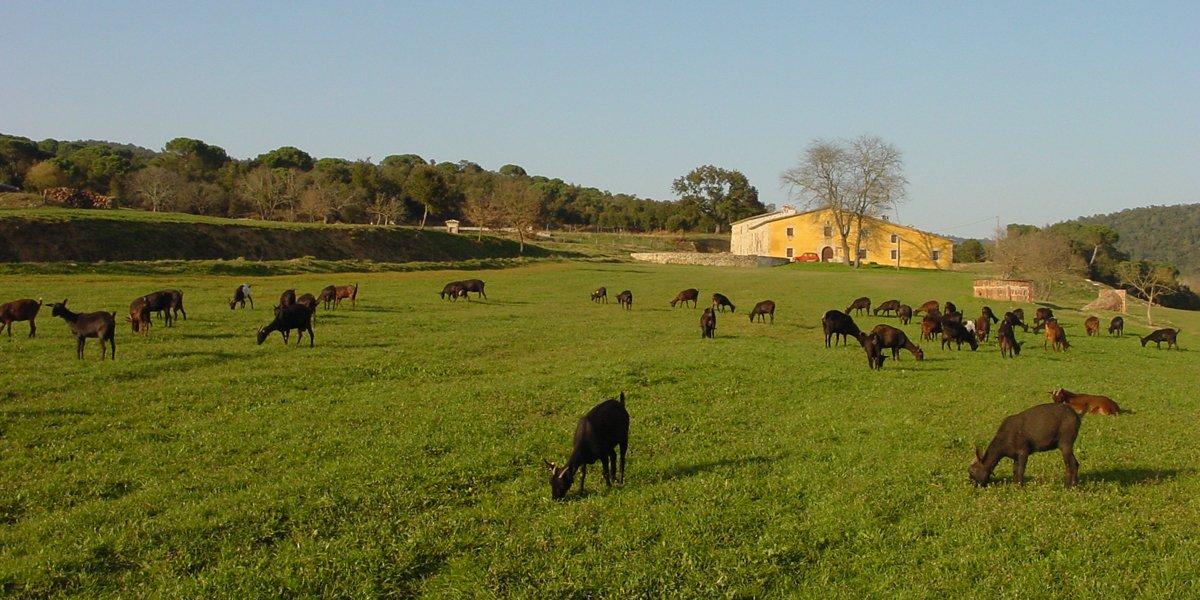 Ramat de cabres a la finca de Can Vilallonga