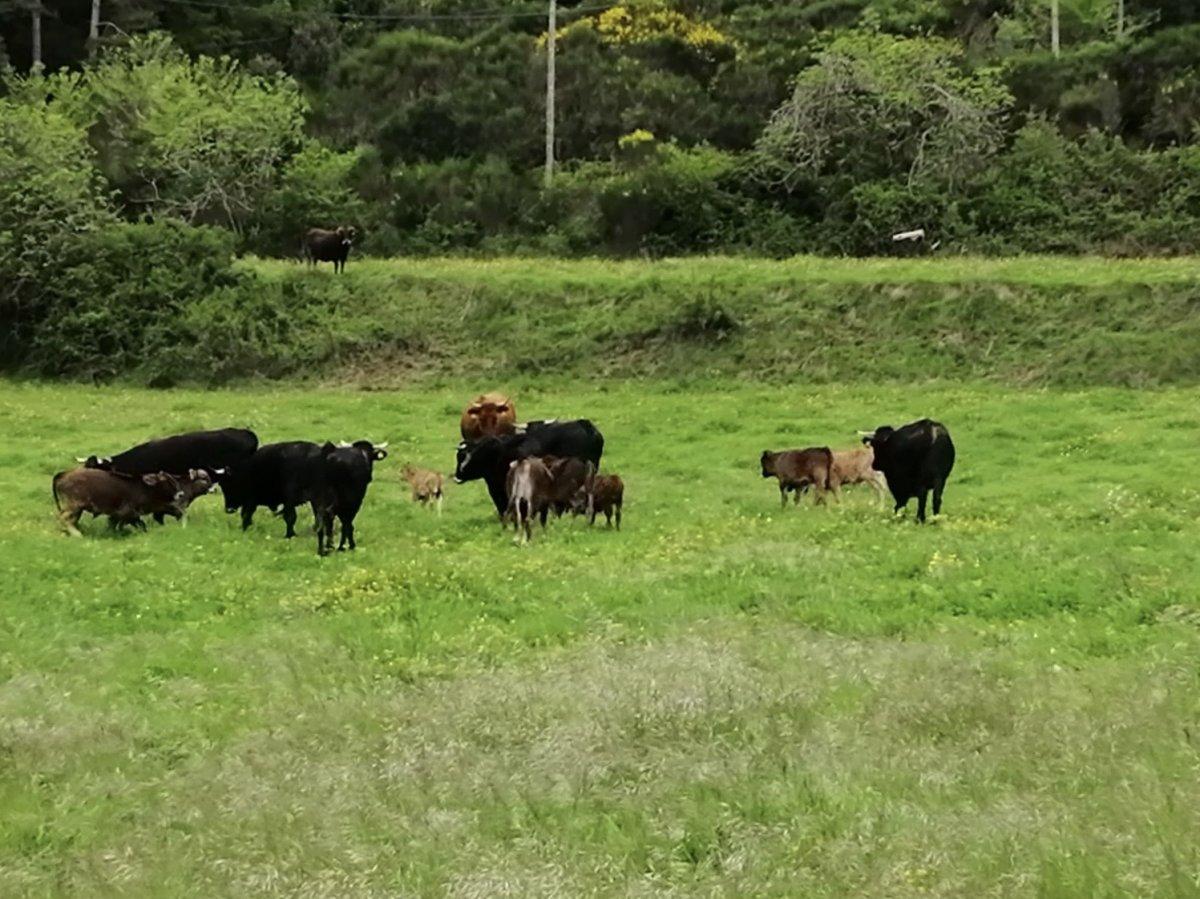 Vaques de l'albera