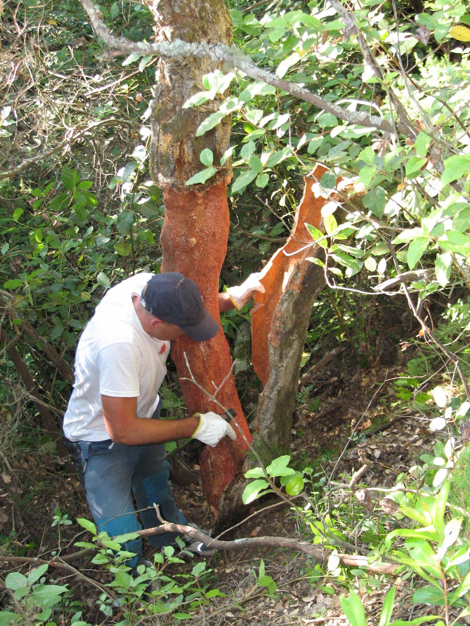La imatge mostra un pelador amb una destral fent palanca per separar la panna de suro de l'arbre. Aquesta operació només es pot dur a terme uns mesos en concret a l'any, entre el maig i l'inici de l'estiu. Un cop s'ha pelat una alzina surera cal esperar al voltant d'uns dotze/catorze anys per tornar a repetir l'operació, així a l'arbre se li tornarà a extreure una panna de suro del gruix que la indústria necessita. En aquests moments és l'activitat d'explotació forestal més important per les Gavarres.