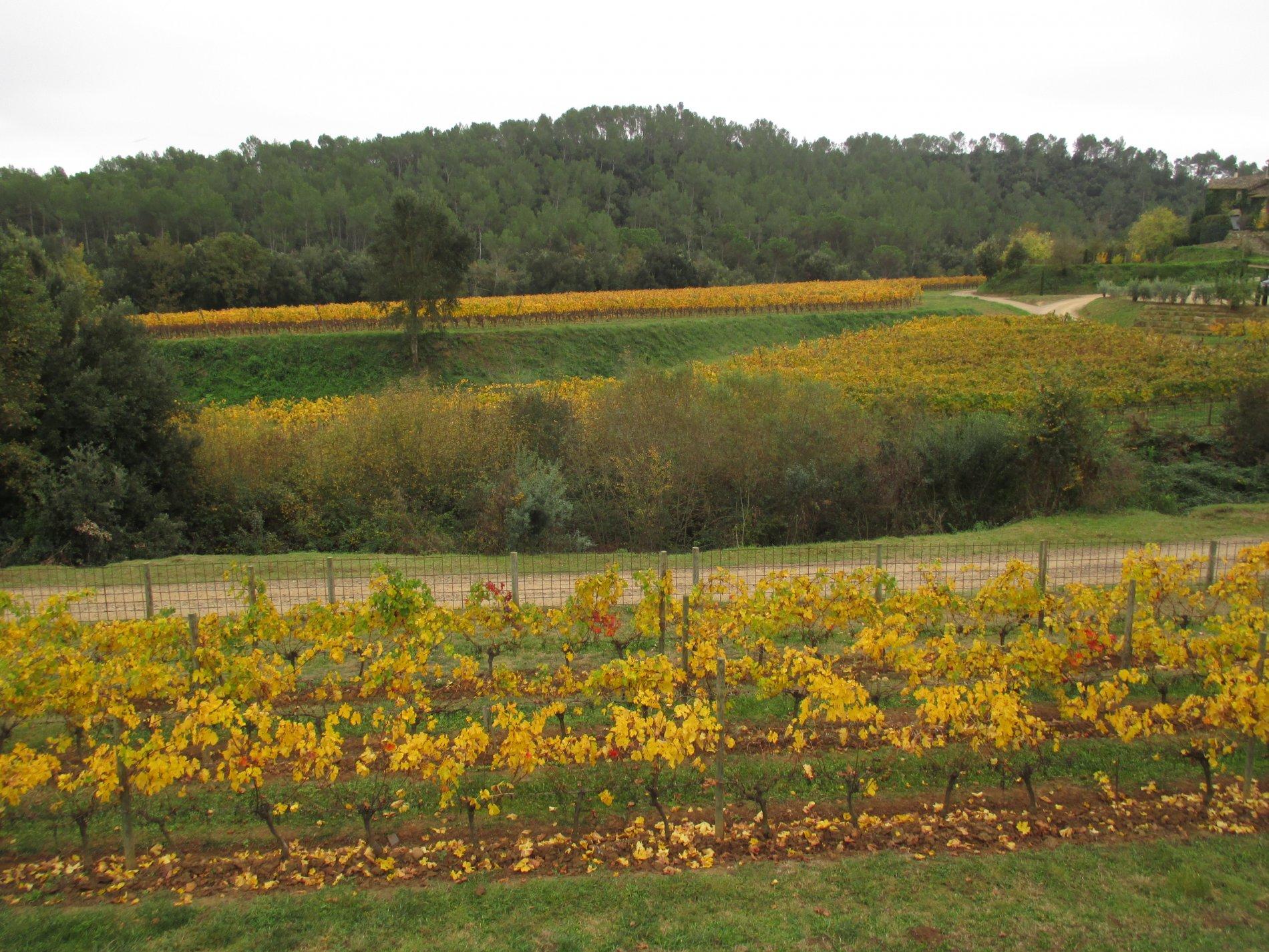 Els colors de tardor de la vinya contrastant amb els verds del bosc de fulla perenne. Paisatge de colors a Sant Martí Vell