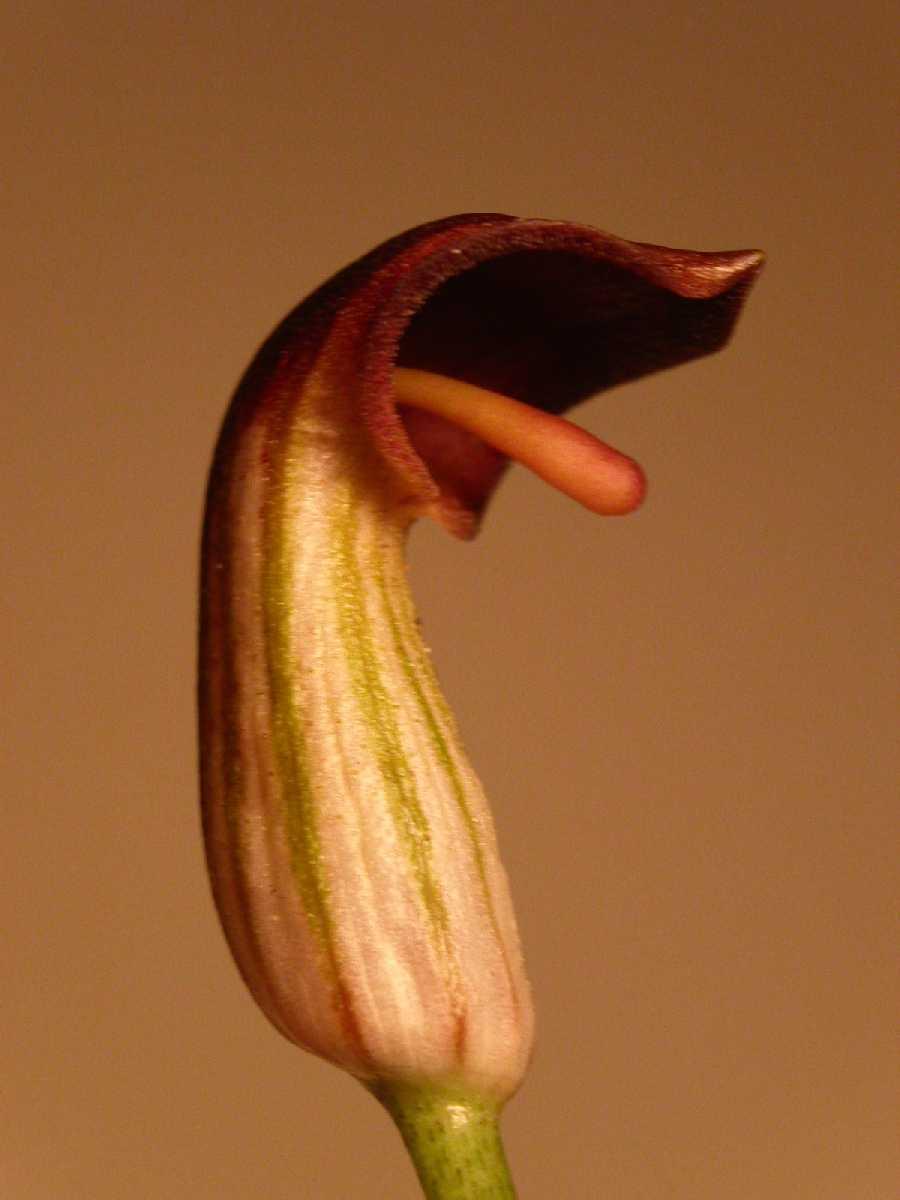 A la imatge teniu una flor curiosa i que és una trampa pels insectes. Per l'olor els atreu i la seva forma fa que caigui a dins i la polinitzin. Un cop polinitzada es tanca. La seva forma recorda a una boca amb la llengua a fora.