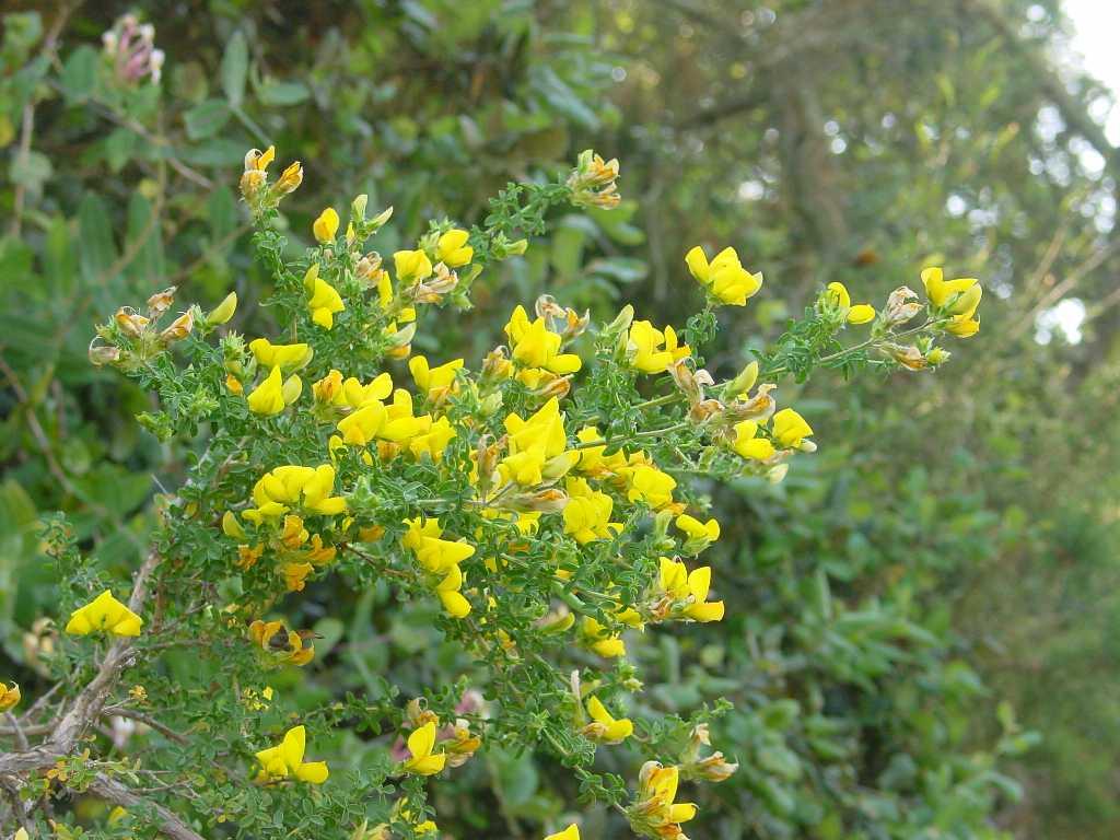 Adenocarpus telonensis. Escruixidor.