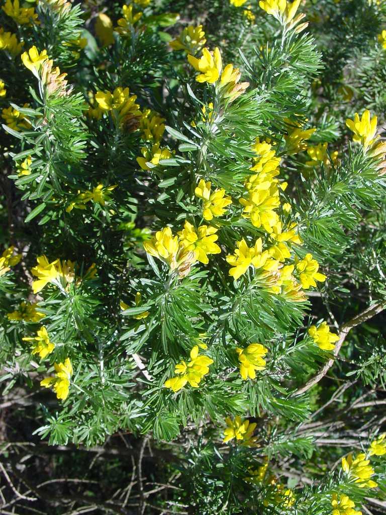 La imatge ens mostra una papillonàcia arbustiva, molt bonica, amb flors grogues semblants a les de ginesta i unes fulles primer que cobreixen la tija. Es fa servir molt en floristeries i està protegida pel decret del PEIN de les Gavarres.