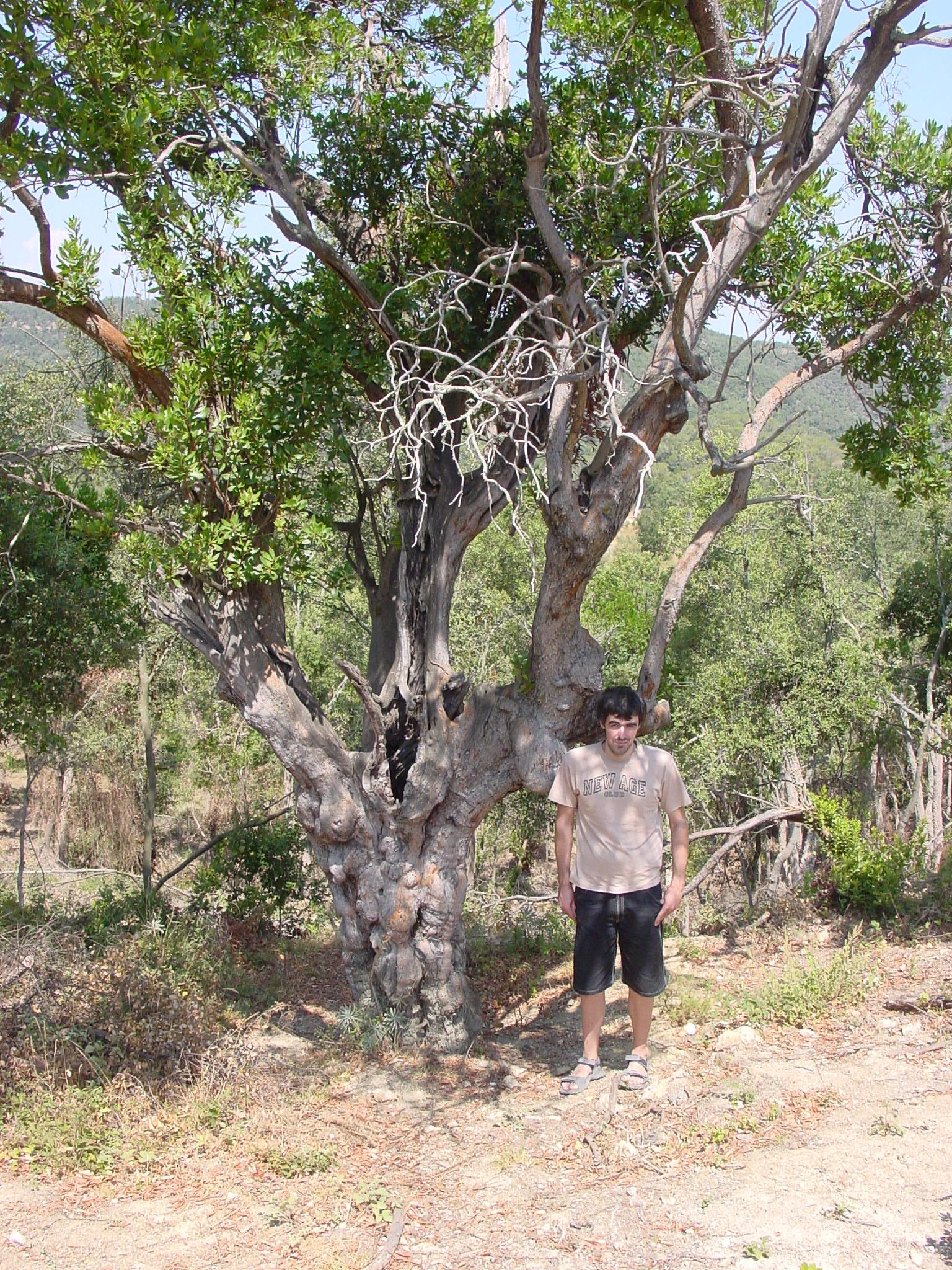 L'arboç de can Genoer està catalogat per la Generalitat de Catalunya com a arbre monumental. Normalment els  arboços són arbres petits, l'exemplar de la imatge fa 8'5 m d'alçada, té una capçada de 8'2 m i a 1'3 m de terra el seu tronc mesura 2'38 m. És un dels arboços més gruixuts de Catalunya.