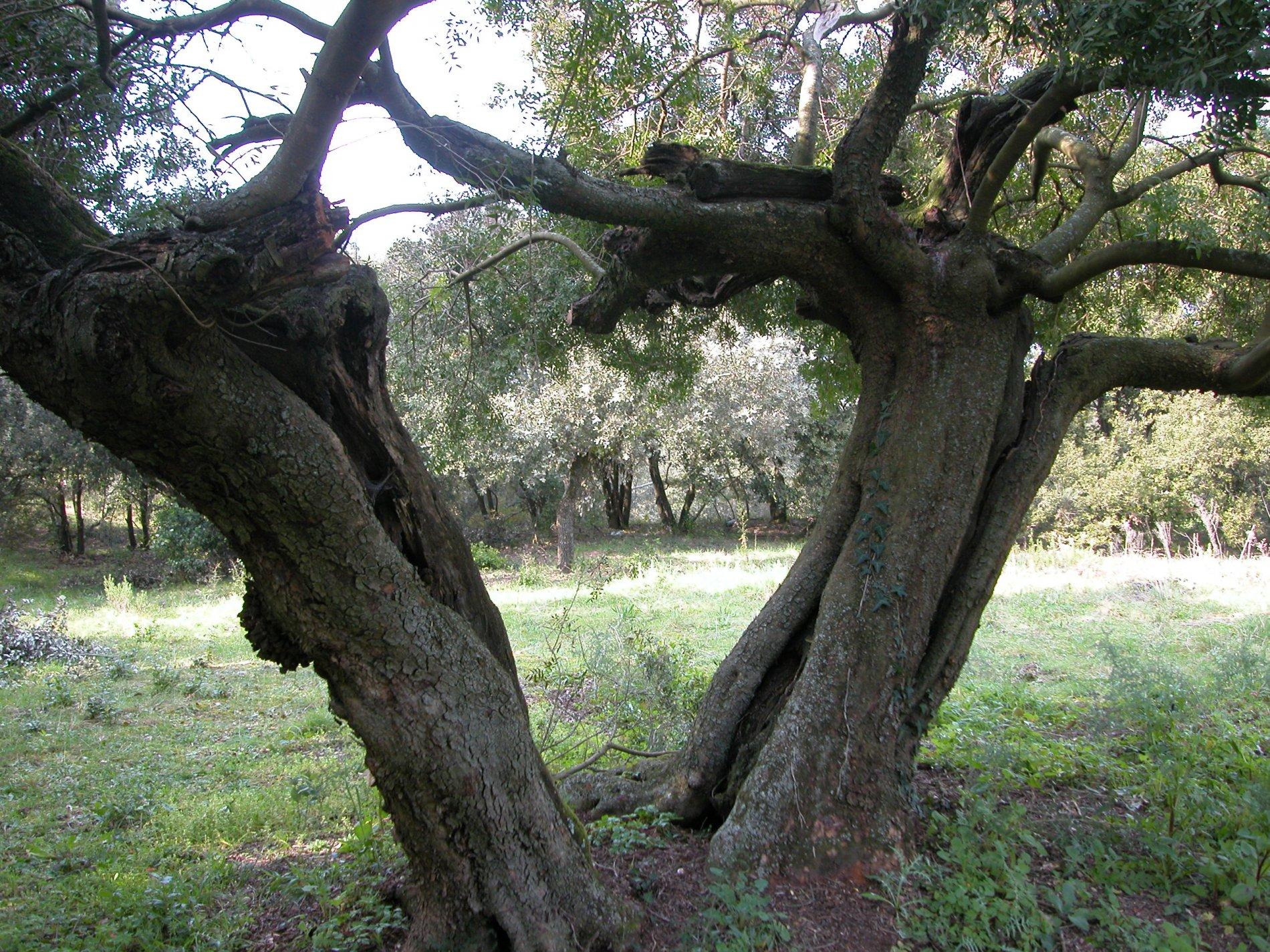 Exemple d'un llentiscle que en comptes de mostrar un port d'arbust com li és natural, té forma d'arbre. Des de la soca es bifurca amb dues branques gruixudes en forma de V. Amb aquest exemplar costa de fer-se a la idea que es tracta d'un arbust propi del sotabosc mediterrani.
