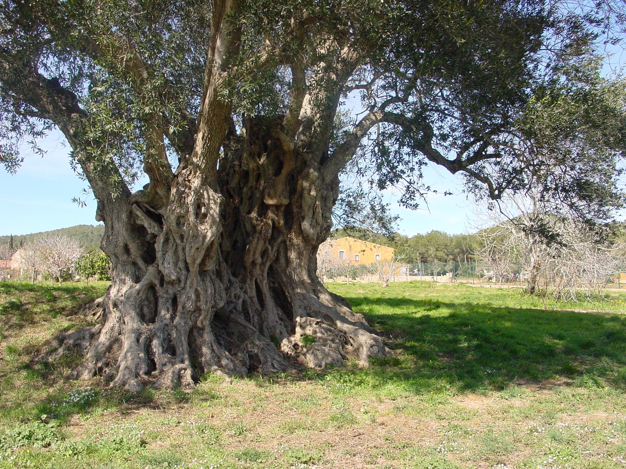 Vall-llobrega és un poble d'oliveres. Aquí veiem aquesta del Mas Genesta, coneguda com la mil·lenària és una de les oliveres més gruixudes de Catalunya. A la base mesura 12'64 m de perímetre i a 1'30 m d'alçada encara en mesura 8'77 m. D'alçada arriba a 10'41 m i la seva capçada té una amplada de 14'07 m.
