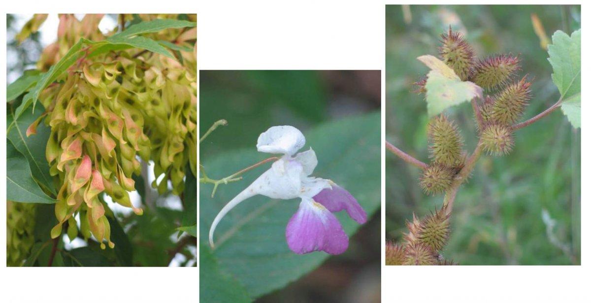 Catàleg de les espècies introduïdes de les Gavarres i valoració del potencial invasor