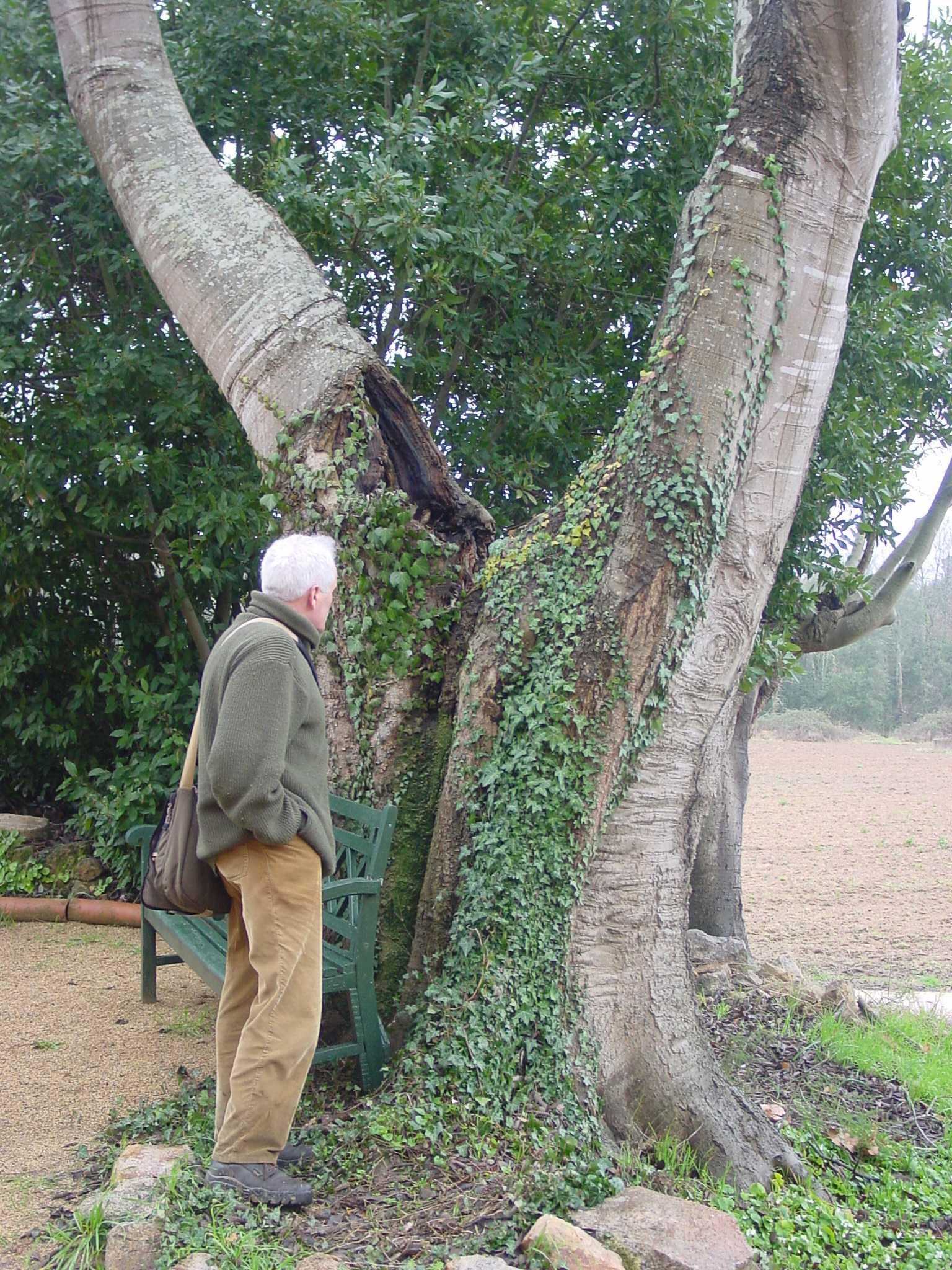 A la imatge es veu el lledoner monumental situat a la porta principal de can Mercader, al veïnat de Verneda de Cassà de la Selva. El diàmetre del tronc mesura 3'96 metres i el diàmetre de la copa 17'40 metres, segons les dades del Catàleg d'arbres d'interès local de Cassà de la Selva.
