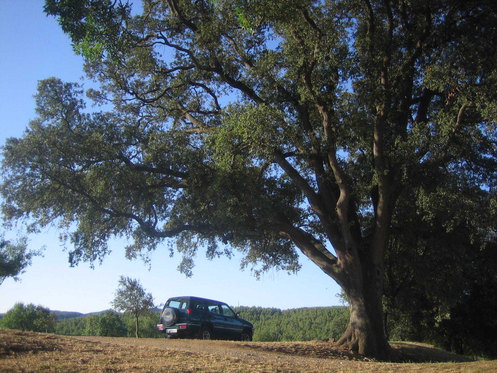 L'alzina de la fotografia dóna la benvinguda a tothom que arriba a la Torre Desvern de Celrà. És un arbre amb un tronc gruixut, de 3,43 metres de diàmetre i recte que dóna la sensació que al cap de poc li surten les branques, en contem sis de gruixudes que quan creixen es van ramificant, fins a arribar a uns 20 metres d'alçada.
