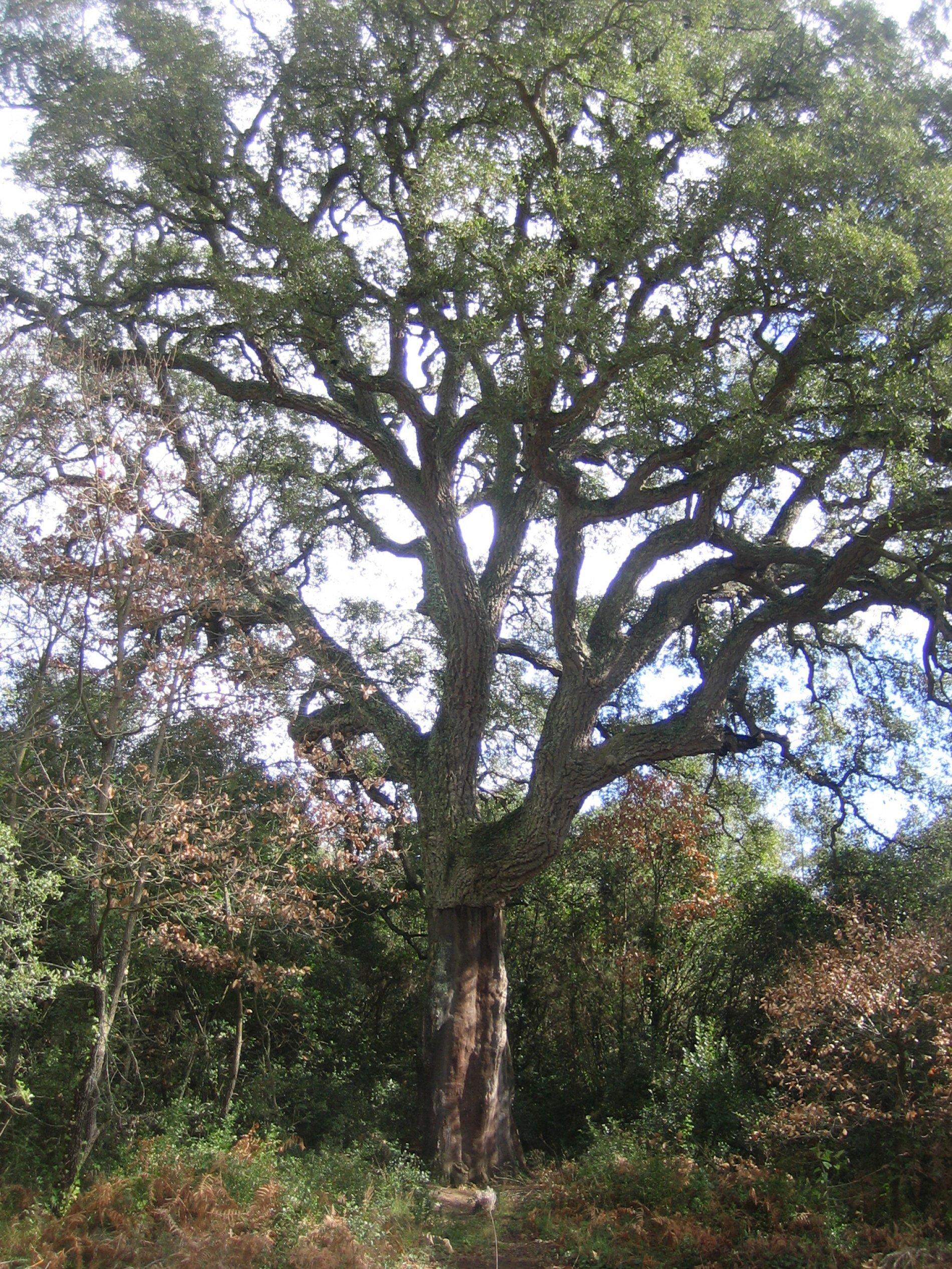 El suro de la fotografia és un suro monumental molt conegut de Romanyà. Forma part de l'itinerari els Gegants del Bosc. El suro té el tronc pelat fins al punt d'on li comencen a créixer les branques. Té un port recte i les branques gruixudes i amb ramificacions. És un arbre amb personalitat.