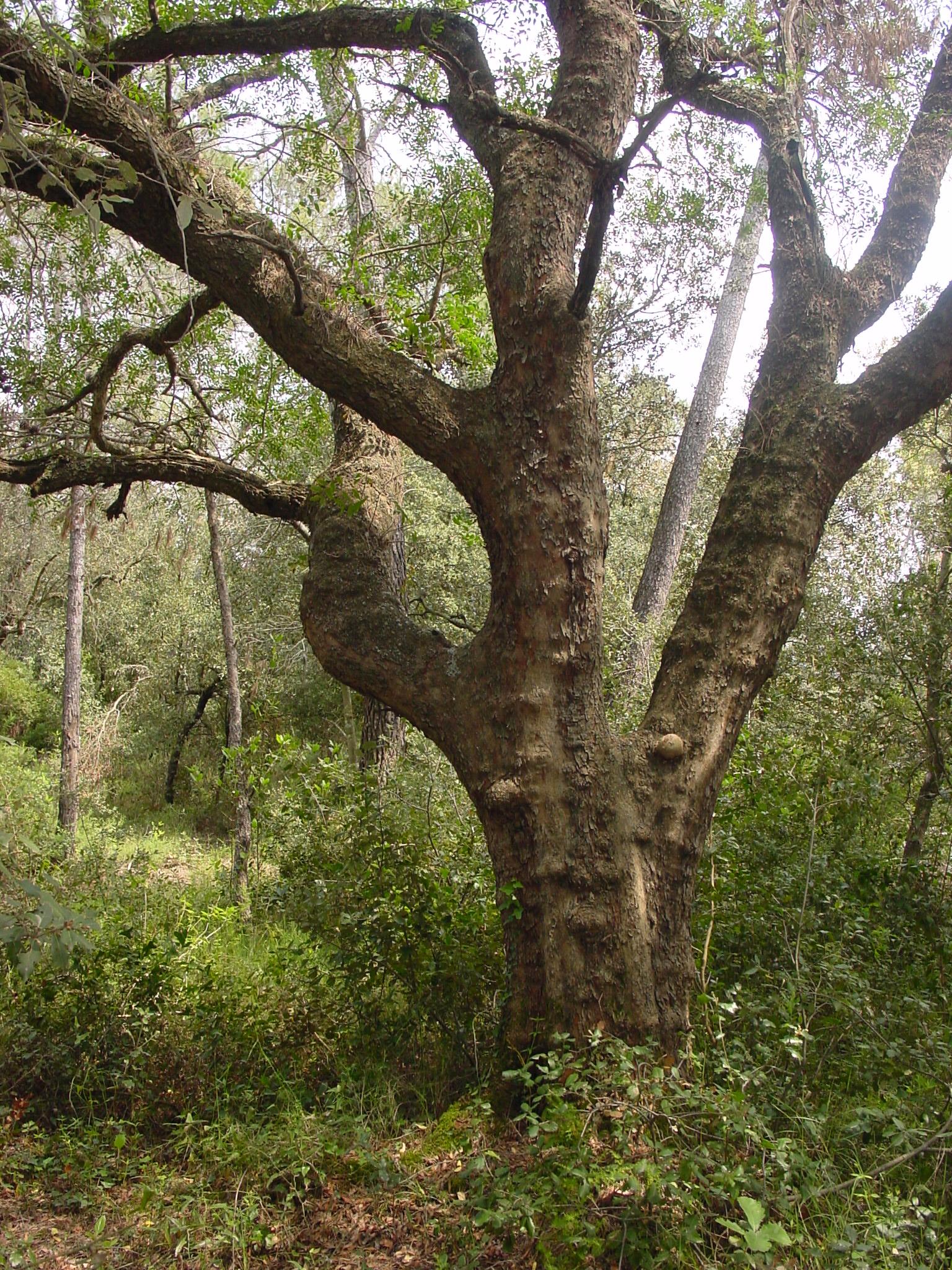El llentiscle és una planta pròpia dels sotaboscos de les gavarres amb un port d'arbus. A la imatge veiem un llentiscle monumental amb unes dimensions d'arbre.