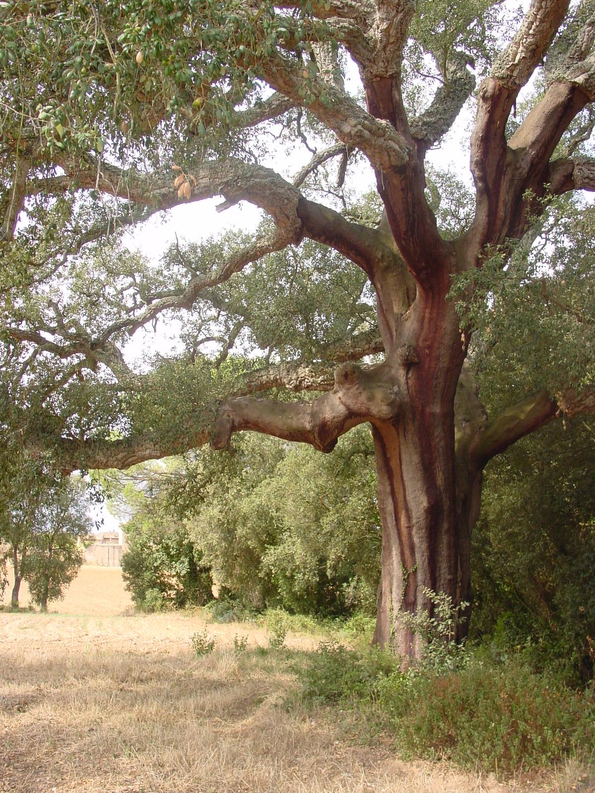 El suro de la imatge és un dels suros més grans de les Gavarres. Les seves dimensions han fet que els peladors hagin estirat la pela fins les seves branques. Normalment això només es produeix al tronc de l'arbre i aquí a les Gavarres no ho acostumem a veure.