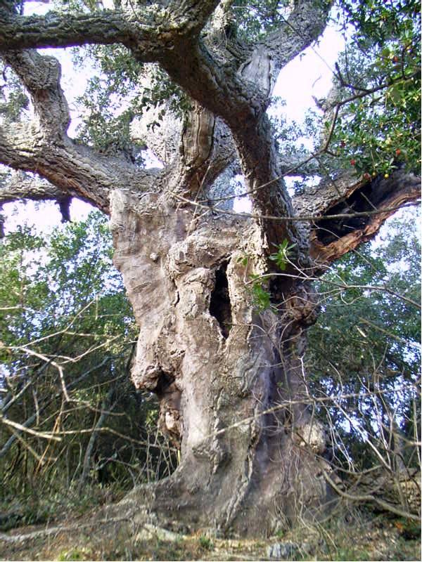 La fotografia mostra l'avi dels suros de les Gavarres. Tenim un suro amb una gran soca d'on aviat en surten branques primes i tortes. Diferents forats denoten que l'arbre està borat. L'escorça de suro denota que ha estat pelat en més d'una ocasió i tot i tenir una aparença llisa, té moltes malformacions.