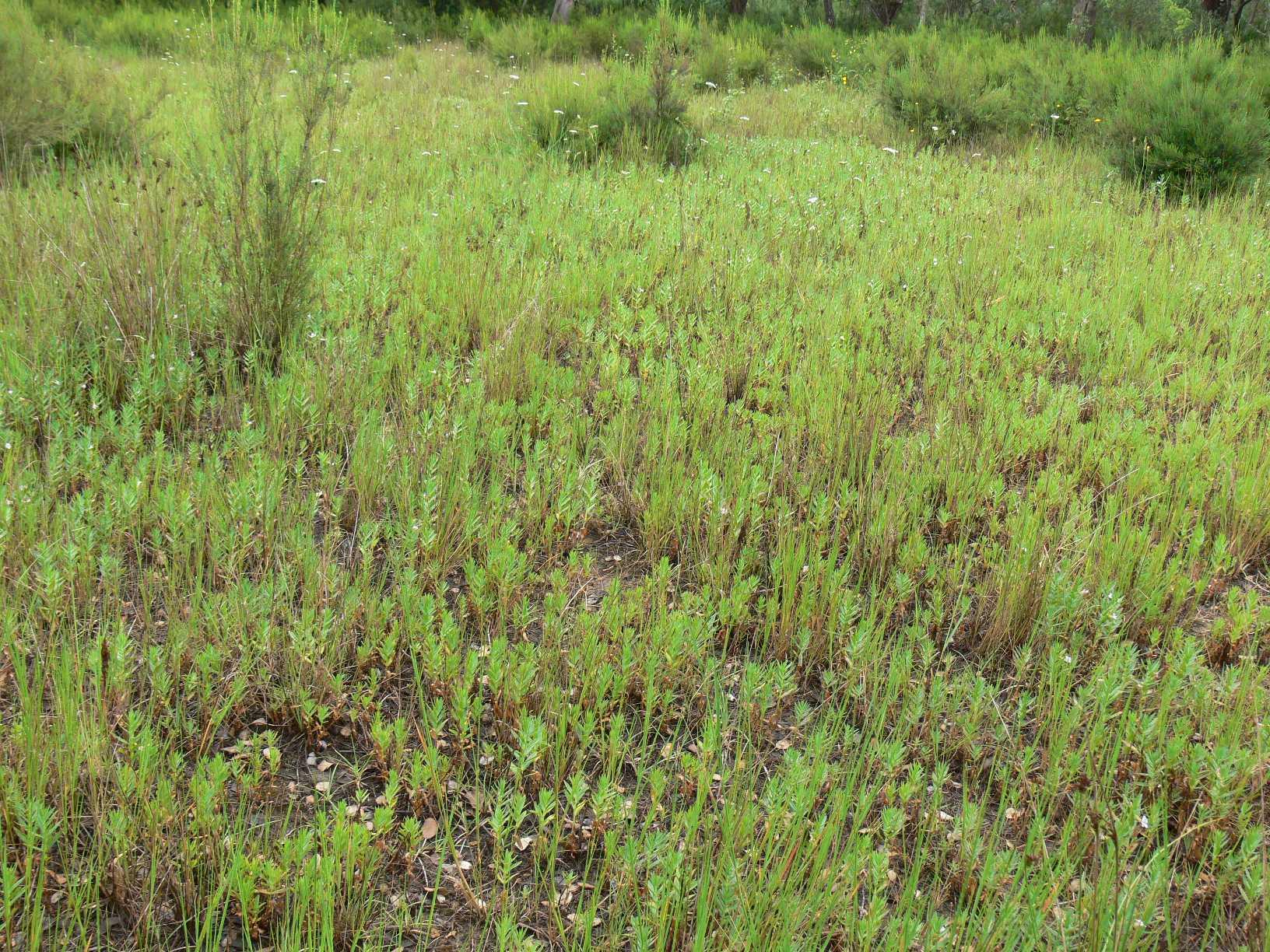A la imatge veiem un pradell amb isoets, unes plantes primitives molt senzilles que no fan flor. Aquestes zones son mal drenades i queden inundades a l'hivern, quan els isoets creixen. A l'estiu passen desaparcebuts ja que només en queda la part subterrània.