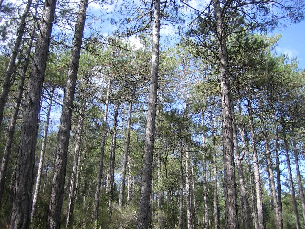 Els pins de la imatge son introduïts a les Gavarres, pertanyen a zones continentals i aquí van ser plantats després d'algun incèndi. Son arbres que creixen a poc a poc i rectes, s'utilitzaven per postes de llum i en el món de la fusteria.