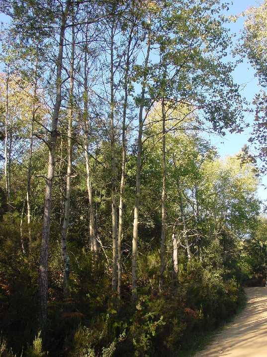 Tremoleda (Populus tremula). Cassà de la Selva