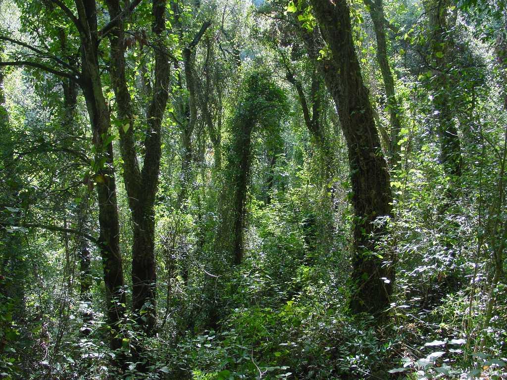 La imatge correspon a un alzinar premadur, és una fase molt evolucionada del bosc mediterrani. Els arbres s'han anat ajuntant deixant passar molt poca llum, la qual cosa neteja el sotabosc. A la fotografia es veu un bosc fosc amb moltes lianes que li dóna un aspecte selvàtic.