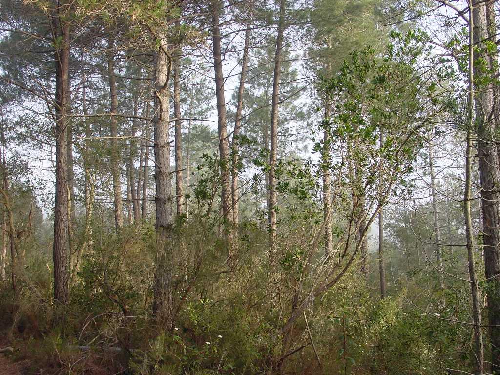 Les formacions de pi pinastre com la de la imatge necessiten humitat i sòls àcids o sorrencs per créixer. A les Gavarres es donen aquestes dues condicions, per tant, un pi que en el context català és rar, aquí el tenim formant boscos d'arbres alt i rectes, amb la capçada esclarissada.