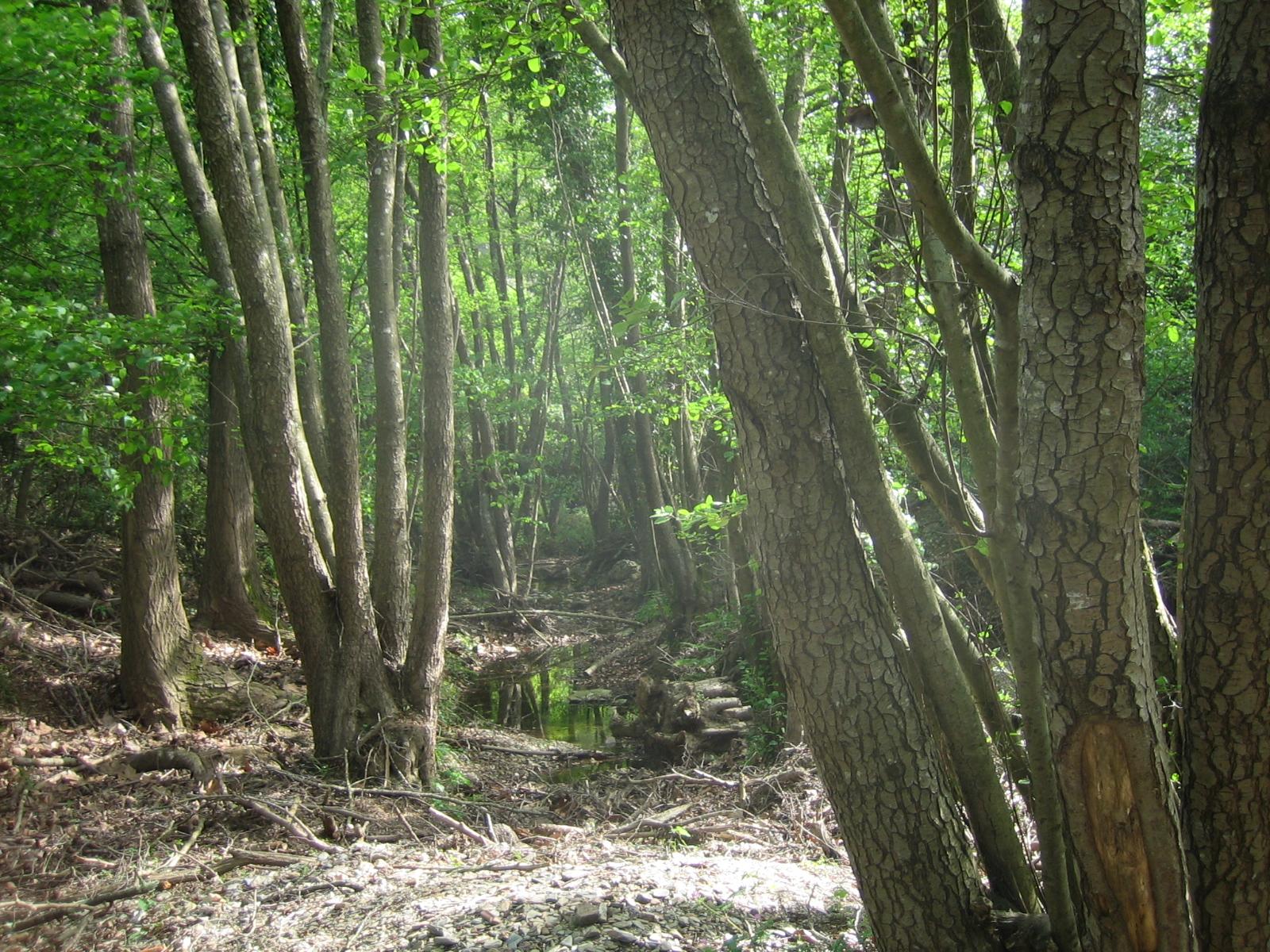 Els verns són arbres de ribera, necessiten aigua permanentment i son indicadors que hi ha aigua tot l'any. Aquesta fotografia ens mostra la verneda del Celrè formada per arbres de bona mida. Les vernedes amb el canvi climàtic estan desapareixen de les Gavarres.